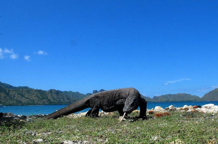 Seekor Komodo (Varanus komodoensis) berjalan di pinggir pantai Pulau Komodo, di Komplek Taman Nasional Komodo, NTT