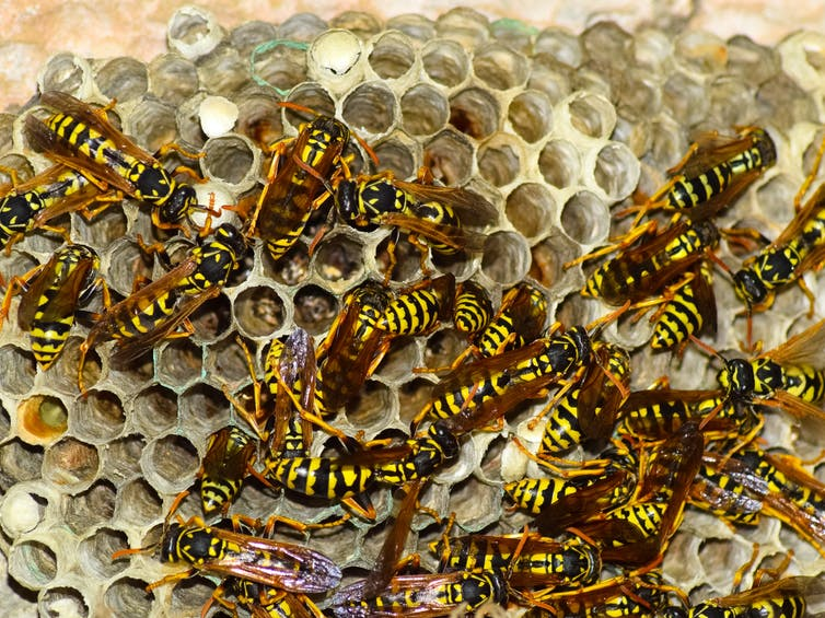 Many wasps and a wasp nest.