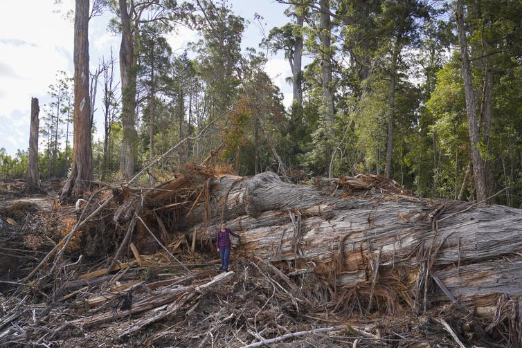A woman appears tiny standing against an enormous felled tree.