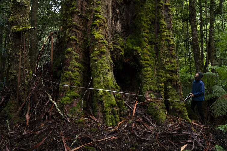 A man wraps a measuring tape around a huge tree trunk, covered in moss.