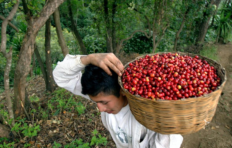 Man carrying a basket of freshly harvested coffee beans in a plantation.