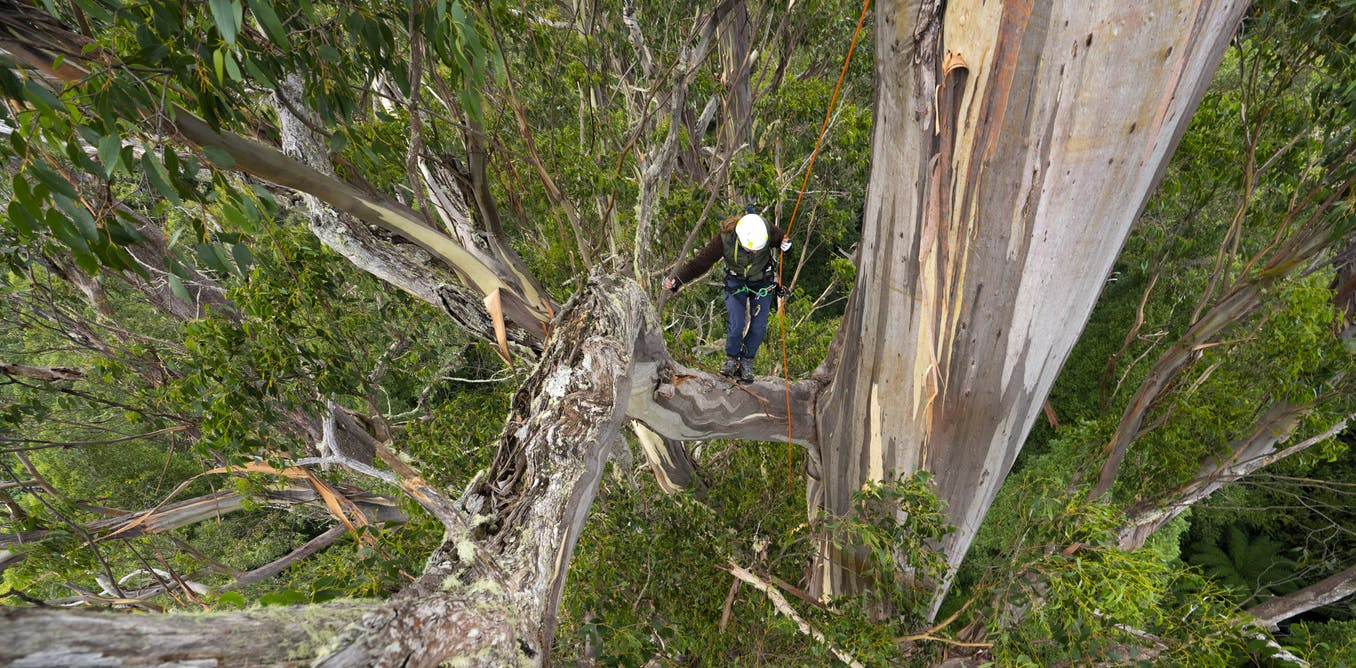 Photos from the field: capturing the grandeur and heartbreak of Tasmanias giant trees