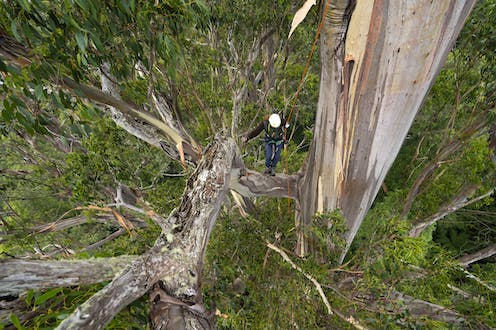 A person holds onto a rope while climbing an enormous tree.