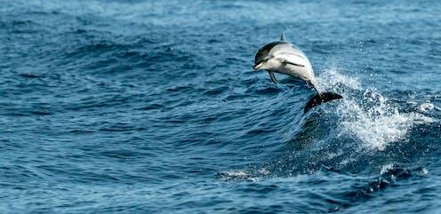 Delfín rayado saltando sobre las olas del mar.