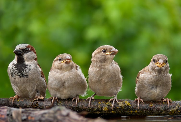 A father house sparrow sits with three offspring on his right.