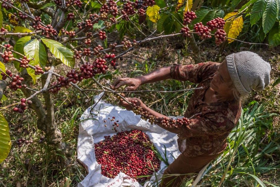 A farmer picks coffee cherries in