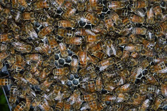 Many bees close together in a hive