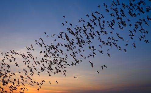 Una manada de murciélagos vuela al atardecer.