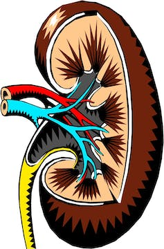 Cross-sectional illustration of a human kidney