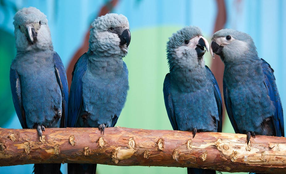Blue macaws, extinct in the wild