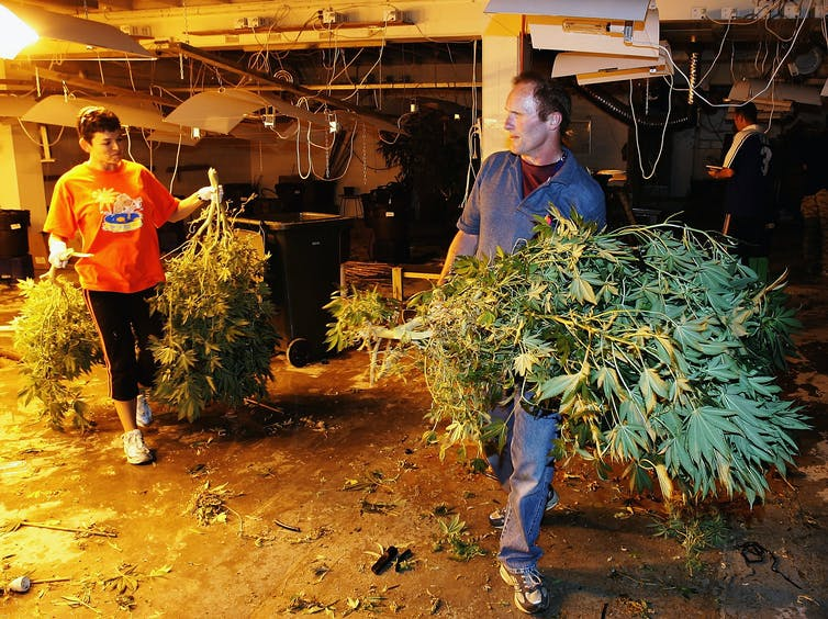 man and woman carrying marijuana plants indoors