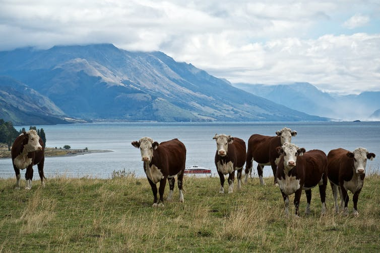 Some cattle at a farm in New Zealand
