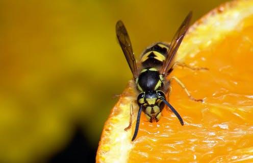 Une guêpe sur une orange.