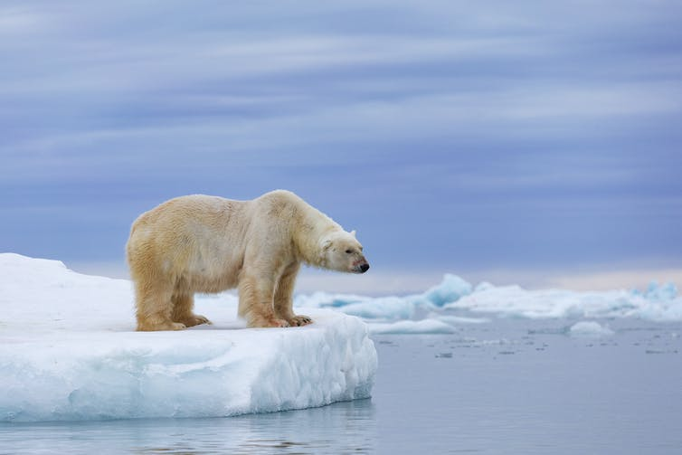 A polar bear on an ice floe