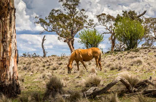 A brumby grazes in the wild on a cloudy summer day.