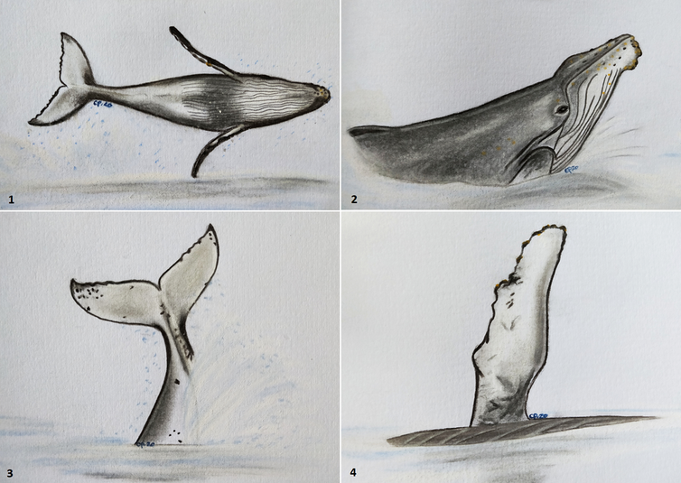 Four drawings of a humpback whale.