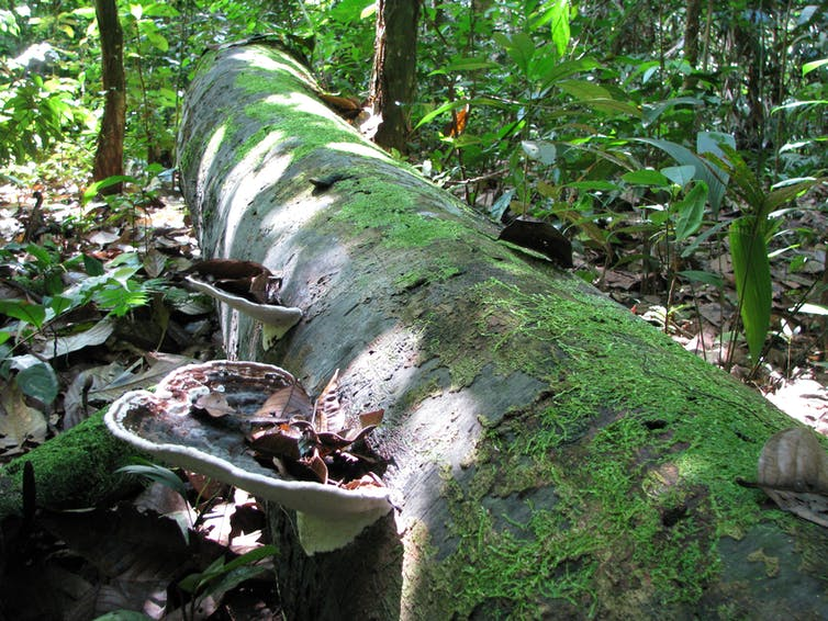 Dead tree trunk on forest floor, large fungi growing on one side.
