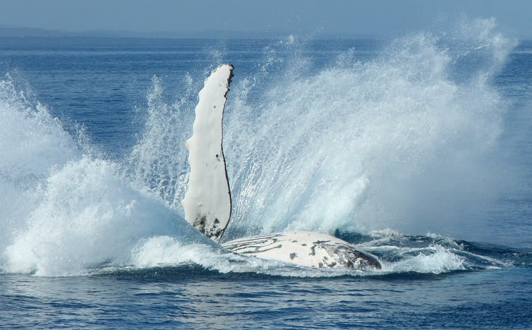 A humpback whale slaps its pectoral flipper and splashes the water