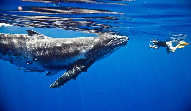 Someone swimming underwater next to a humpback whale.