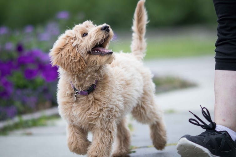 A white labradoodle puppy looks up at owner