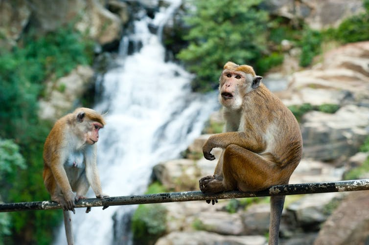 Primates sitting on tree branch in front of river.