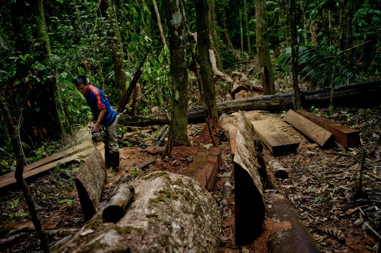 A man chainsaws a tree trunk in Amazon rainforest