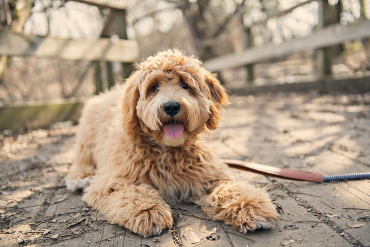 A light brown labradoodle looks at the camera