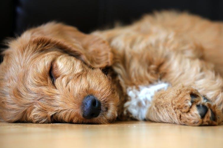 A sleeping Labradoodle pup