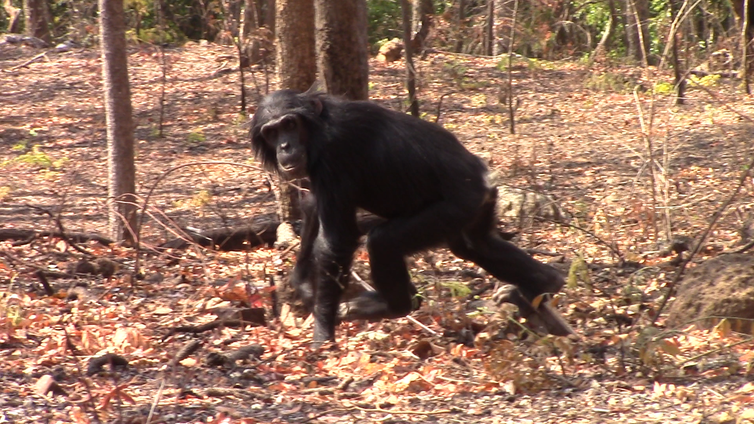 A chimpanzee looking at the camera while walking through a forest clearing.