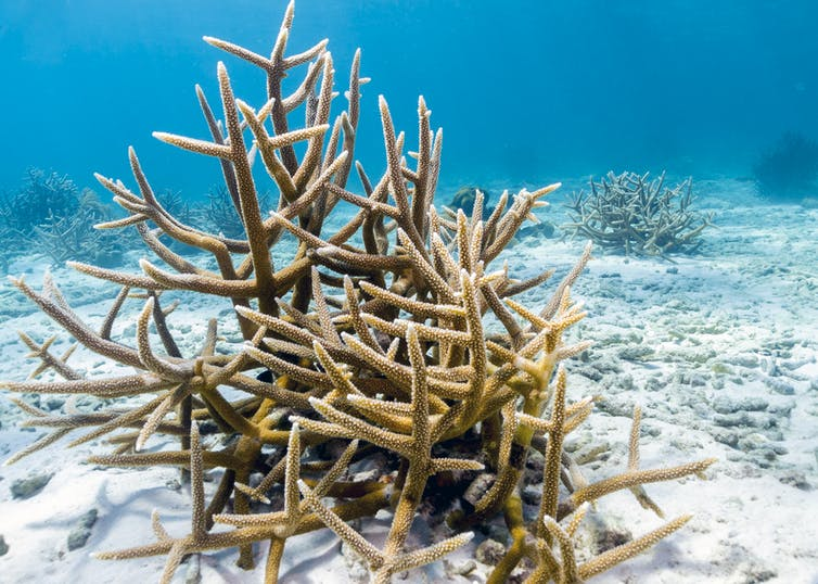 Staghorn coral on white sand.
