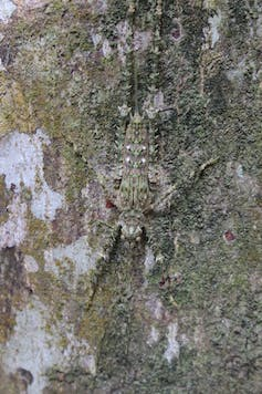 Grasshopper camouflaged on a tree trunk