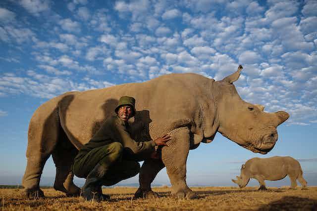 A park ranger crouches next to a rhino
