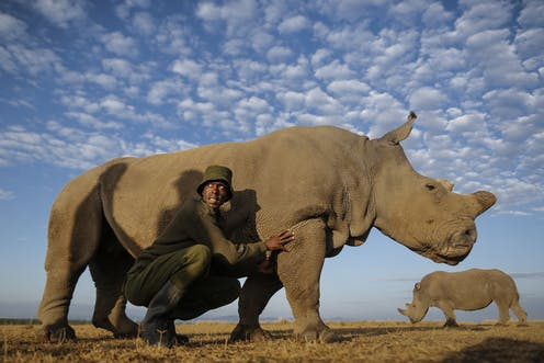 A park ranger crouches next to a rhino