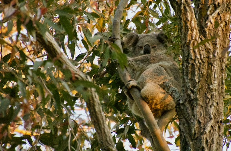 A koala clinging to a tree branch