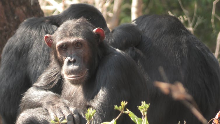 A chimpanzee sitting with arms crossed is surrounded by other chimpanzees with their backs turned.