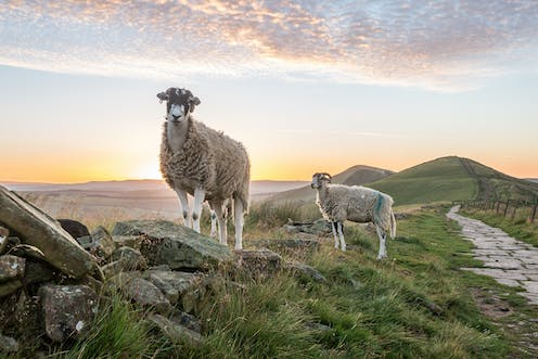 Two sheep stand on a stone wall