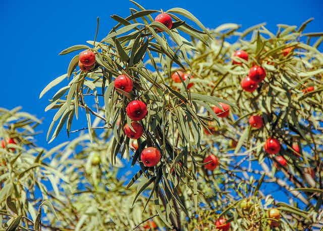 Desert quandong on a tree near Alice Springs