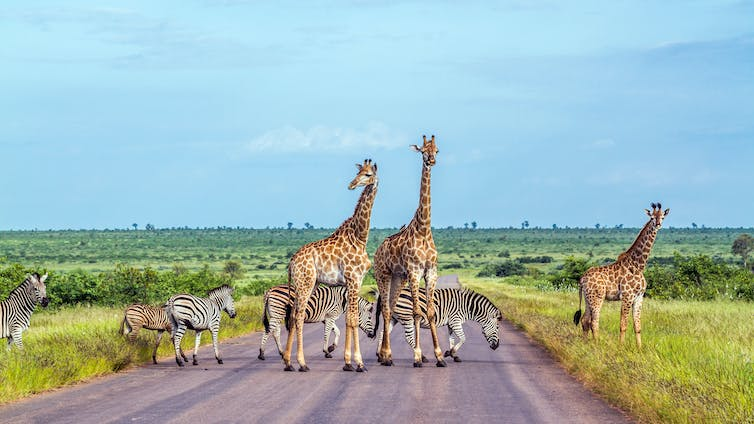 Giraffe and plains zebra in the Kruger national park, South Africa.