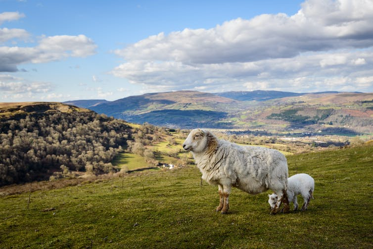 Sheep and lamb on scenic hillside.