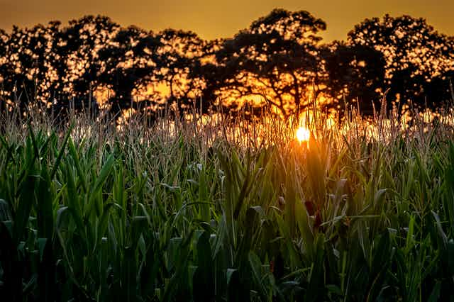 Cornfield with trees in backgrounders and setting sun