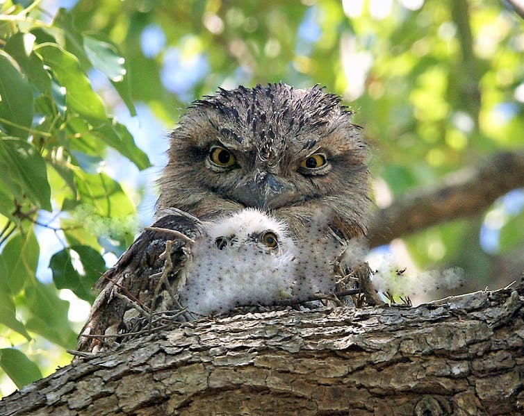 A Tawny Frogmouth and its chick.
