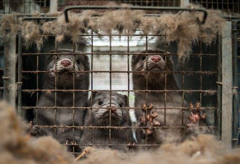 Tres visones en una jaula.
