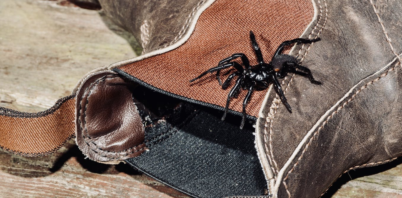 I didnt mean to hurt you: new research shows funnel webs dont set out to kill humans