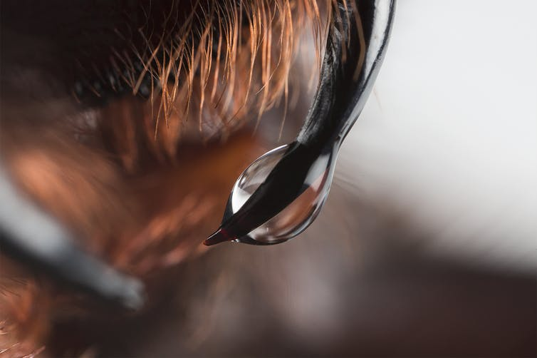 Venom dripping from a funnel web's fang