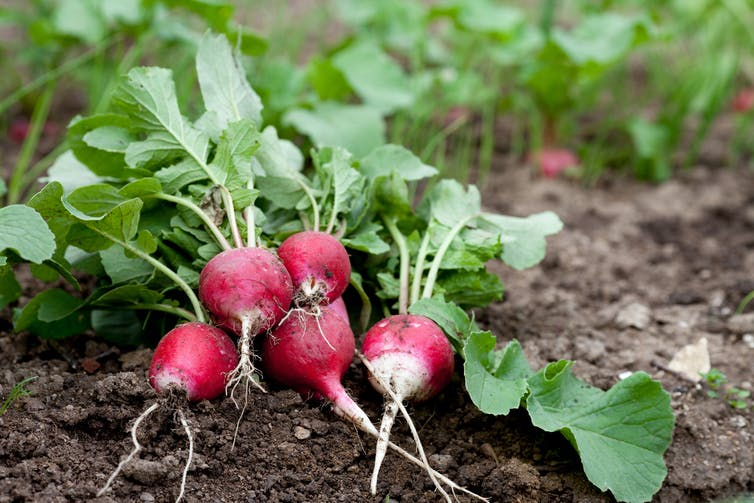 Radishes pulled out from the ground sitting in the dirt.