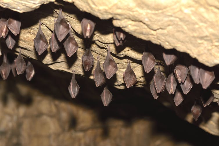 Bats roosting on the roof of a cave.