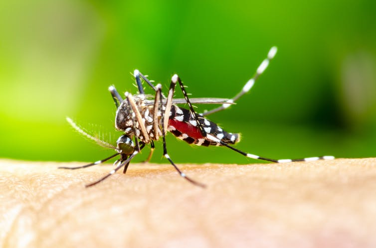 An Aedes aegypti mosquito feeding on a human.