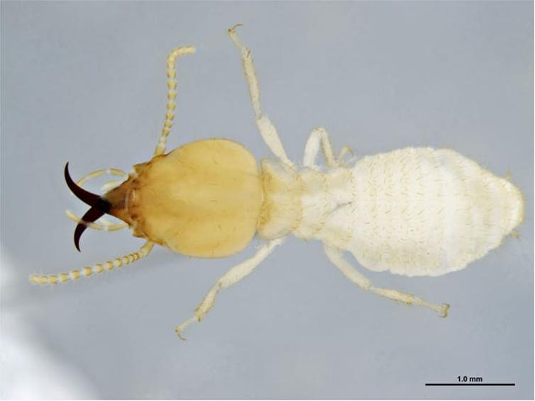 A close-up image of a white termite.
