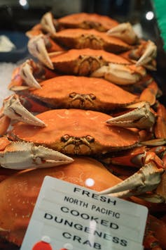 Wild Pacific Ocean Dungeness crab.