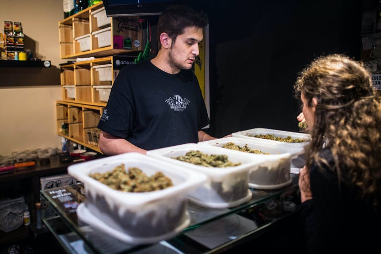 two people looking at trays of cannabis